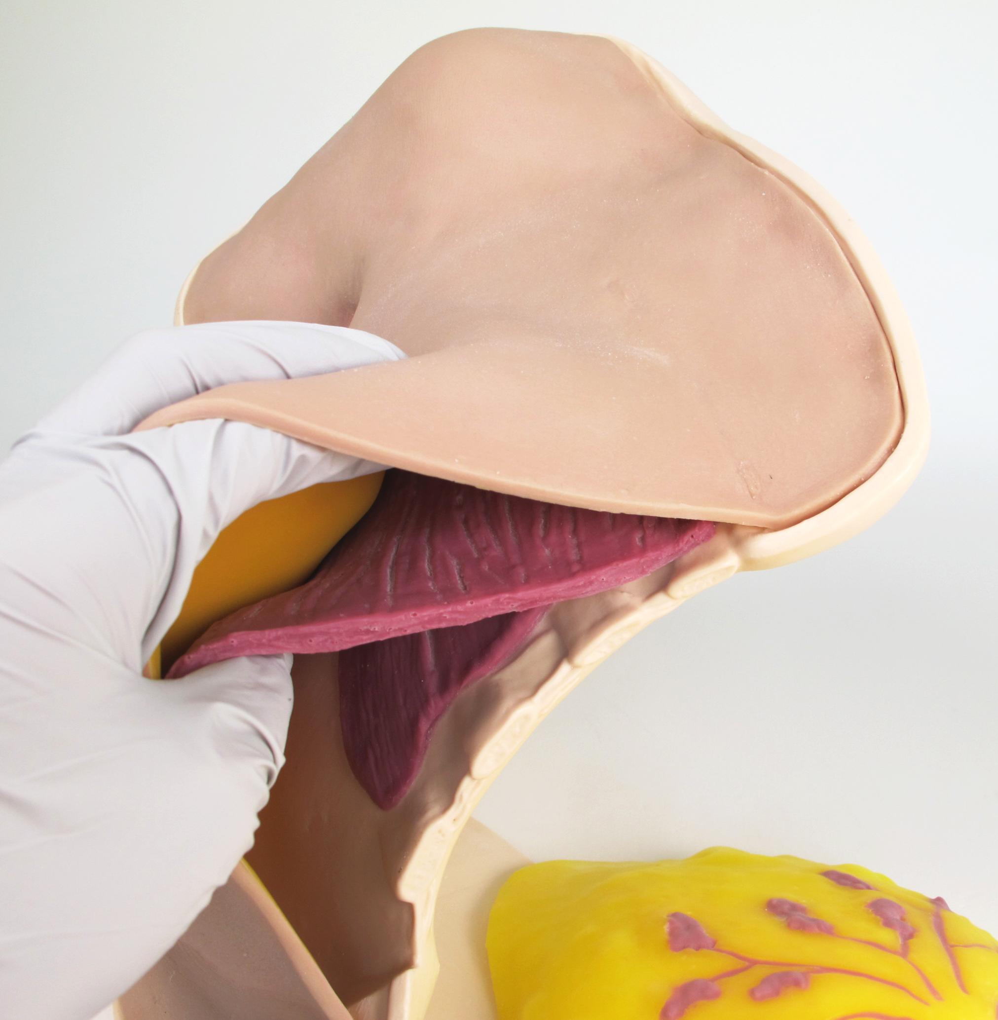 Breast Anatomy Model Half07