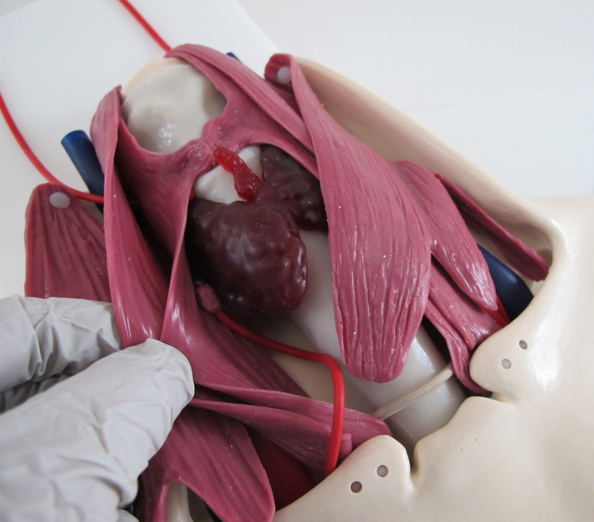 Thyroidectomy Trainer02